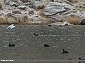 Caspian Gull (Larus cachinnans) (32629725586).jpg