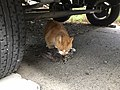Cat in process of bleeding out ruffed grouse.jpg