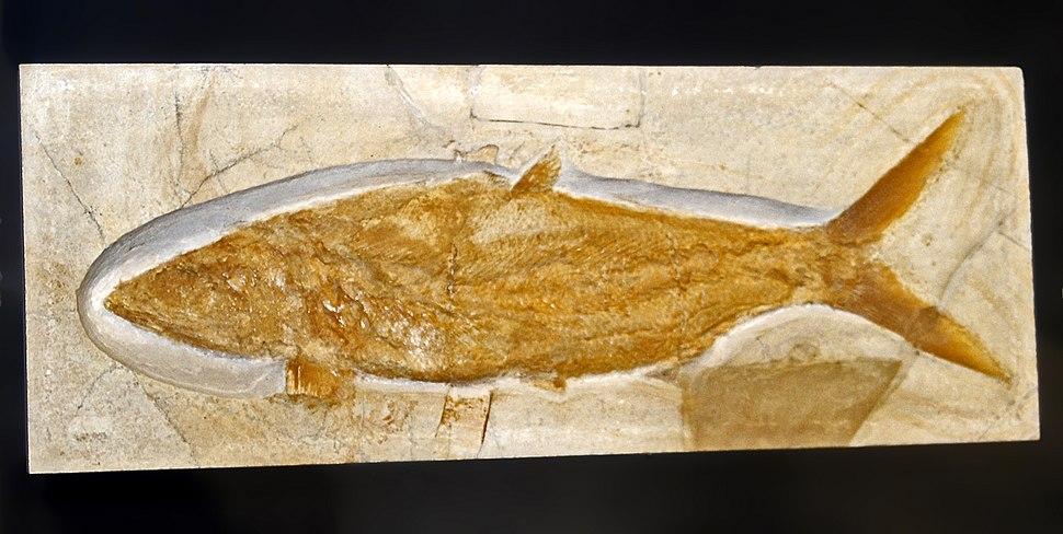 Caturidae - Caturus furcatus