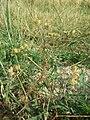 Caucalis platycarpos subsp. platycarpos sl33.jpg