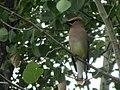 Cedar Waxwing perched on branch.jpg