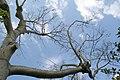 Ceiba speciosa 4zz.jpg