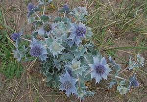 English: Celyn y môr (Eryngium maritimum) Sea ...
