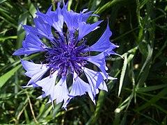 CentaureaCyanus-bloem-kl.jpg