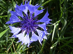 Cornflower in Gouda, the Netherlands Nederland...