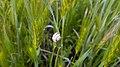 Cepaea snail on hordeum, Yerevan 03.jpg