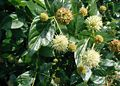 Cephalanthus-occidentalis-flowers.JPG