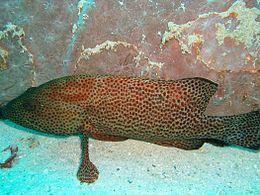 Cephalopholis cruentatus.jpg