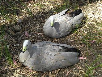 Cape Barren goose - Two at Cleland Wildlife Park, South Australia