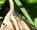 Certallum ebulinum. Cerambycidae (32246583666).jpg
