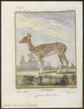 Cervus axis - 1700-1880 - Print - Iconographia Zoologica - Special Collections University of Amsterdam - UBA01 IZ21500332.tif