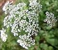 Chaerophyllum temulum inflorescence (03).jpg