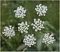 Chaerophyllum temulum inflorescence (04).jpg
