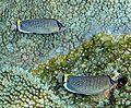 Chaetodon guttatissimus en Maldivas.jpg