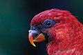 Chalcopsitta cardinalis -Cincinnati Zoo, Ohio, USA -head-8a.jpg