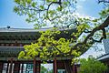 Changdeokgung Heohwanamugun Trees (창덕궁 회화나무군) - 7.jpg
