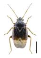 Charagochilus gyllenhalii.png