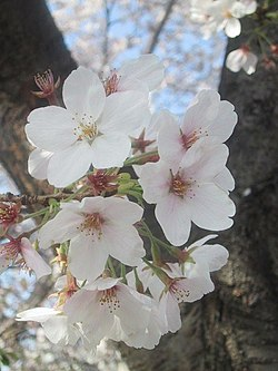 Cherry blossoms (2004).jpg