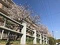 Cherry blossoms in Fukuoka, Fukuoka 20190402.jpg