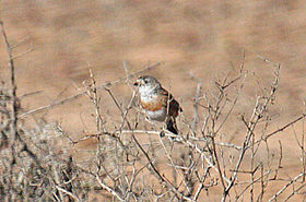 Chestnut-breasted Whiteface (Aphelocephala pectoralis) perched.jpg