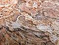 Chestnut Marronnier tué par Pseudomonas syringae Detail.jpg