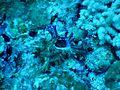 Chicoreus sp Milhadhoo.JPG