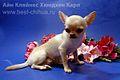 Chihuahua karl.jpg