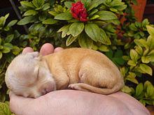 Chihuahua Dog Wikipedia