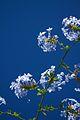Chile - Santiago 29 - summer flowers (6977797101).jpg