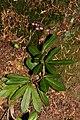 Chimaphila umbellata 1053.JPG