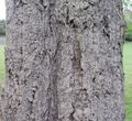 Chinese cork oak bark.jpg