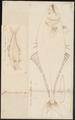 Chorinemus saliens - 1700-1880 - Print - Iconographia Zoologica - Special Collections University of Amsterdam - UBA01 IZ13500447.tif