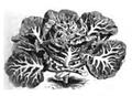Chou à grosses côtes ordinaire Vilmorin-Andrieux 1883.png