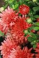 Chrysanthemum Fiona 1zz.jpg