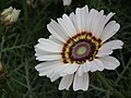 Chrysanthemum from Lalbagh flower show Aug 2013 8322.JPG