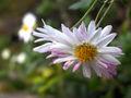 Chrysanthemum morifolium2.jpg
