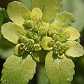 Chrysosplenium nagasei (flower).jpg
