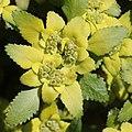 Chrysosplenium nagasei (flower s5).jpg