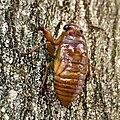Cicada larva climbing tree - 2.jpg