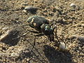 Cicindela hybrida (Tiger beetle), Arnhem, the Netherlands.jpg