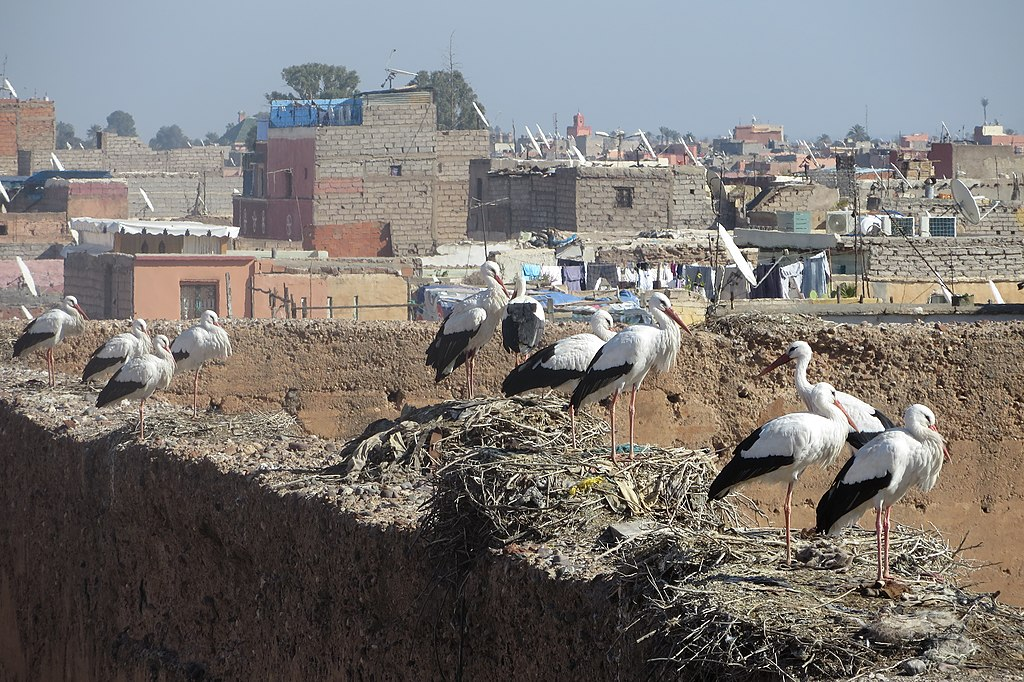 En attendant d'autres photos insolites de Marrakech, celles d'une dizaine de cigognes sur la Palais El Badi - Photo d'Aconcagua