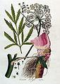 Cicuta virosa — Flora Batava — Volume v4.jpg