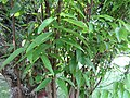 Cinnamomum tamala (Bay leaf) tree in RDA, Bogra 01.jpg