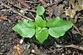 Circaea alpina kz01.jpg