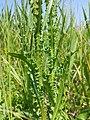 Cirsium brachycephalum sl4.jpg