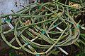 Cissus quadrangularis - Agri-Horticultural Society of India - Alipore - Kolkata 2013-01-05 2209.JPG