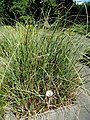 Cladium mariscus - Botanical Garden, University of Frankfurt - DSC02706.JPG