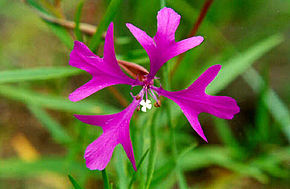 Description de l'image Clarkia pulchella.jpg.