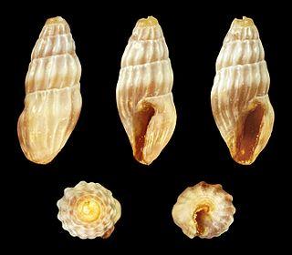 <i>Clavus pusilla</i> species of mollusc