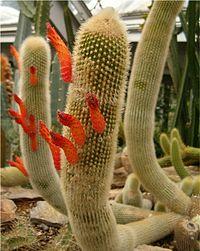 Cleistocactus brookei HabitusFlowers BotGardBln0806a